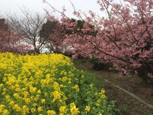 初島菜の花