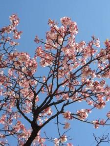 満開あたみ桜いまい