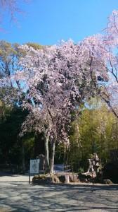 一重の垂れ桜 伊豆山