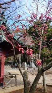 台湾緋桜 伊豆山神社