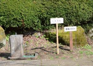 三春滝桜950m