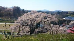 内田三春桜