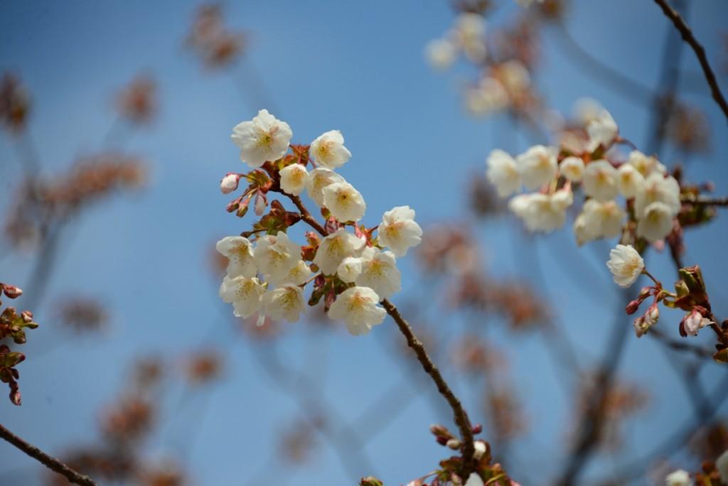 すぱ大島桜