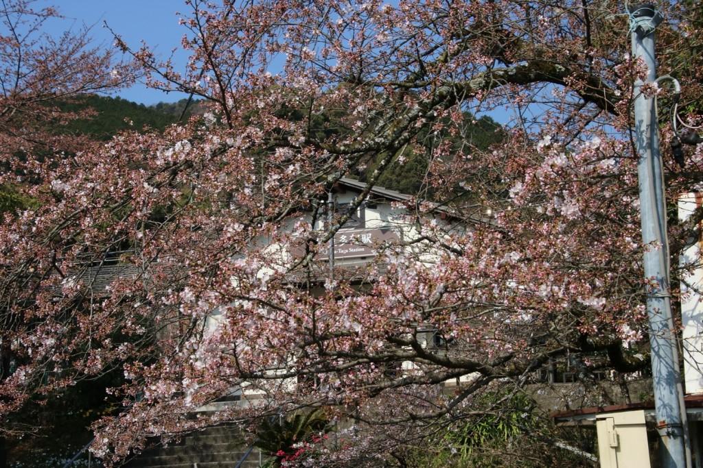 伊豆多賀桜